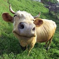 happy-cow-sm